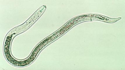 Pratylenchus penetrans